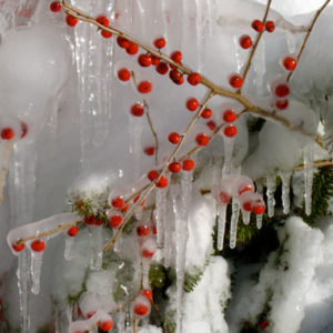 Winterberry (Ilex verticillata) in winter