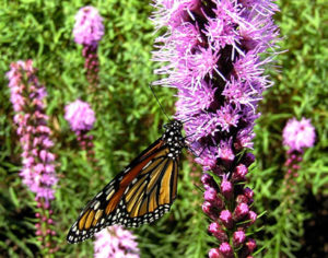 Liatris and a Monarch butterfly