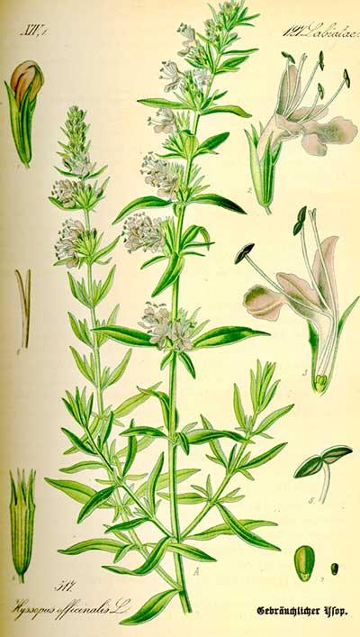 """Hyssop officinalis, from Prof. Dr. Otto Wilhelm Thomé """"Flora von Deutschland,"""" Österreich und der Schweiz1885"""