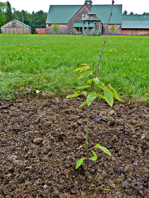 Chestnut tree planted at MOFGA's Common Ground Education Center