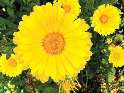 Calendula flower. Jean English photo