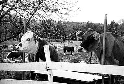 Perron cows
