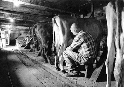 Larry Perron milking cows
