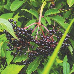 Elderberry in the orchard. Photo by Brighid Doherty