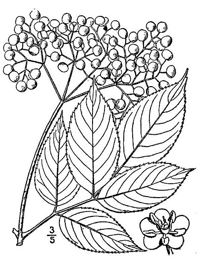 Elderberry Fruit, Leaves and Flower