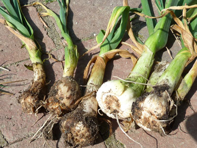 Garlic affected by bloat nematodes