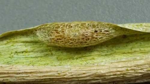 Leek moth cocoon. Photo by David Fuller