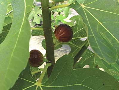 Ripe figs. Photo by Lauren Errickson