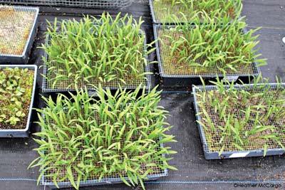 Three-year-old ramp seedlings in seed flats