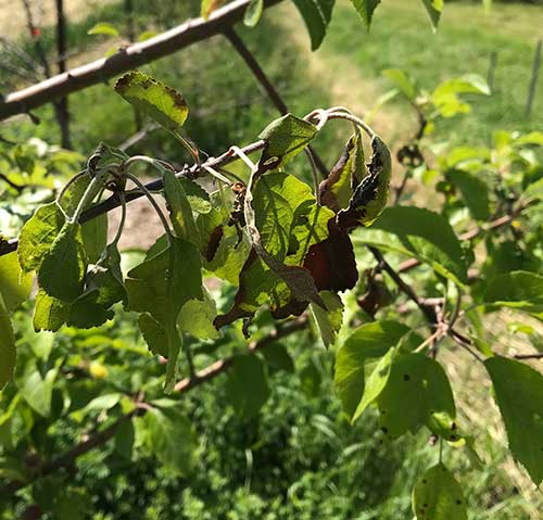 Early symptoms of fire blight in a Liberty apple tree. The branch is just starting to make the shepherd's crook and blacken. Photo by C.J. Walke