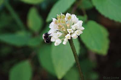 Ramps support pollinators