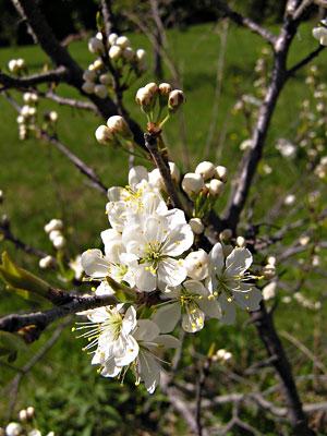 Flowers of beach plums