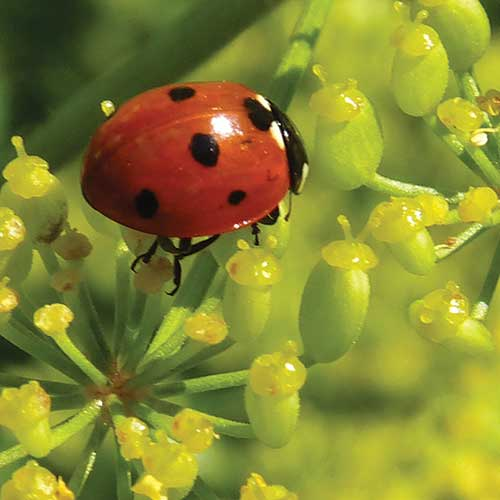 Create habitat in your garden for beneficial insects such as ladybugs. English photo