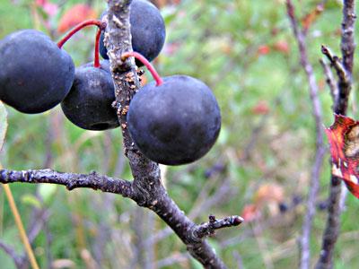 Beach plums fruits