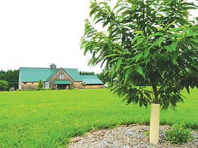 Blight-resistant American chestnut tree growing at MOFGA's Common Ground Education Center