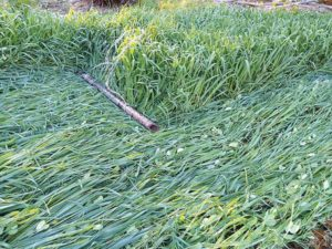 Peas and oats can be knocked down to plant garlic into; the cover crops will winter-kill, becoming mulch for the garlic while also providing nitrogen. Goossen photo