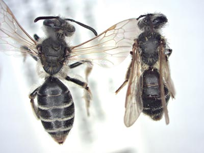 Large and small ground-nesting bees, Andrena nasonii