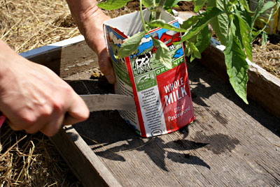 Transplanting melon plants in milk cartons