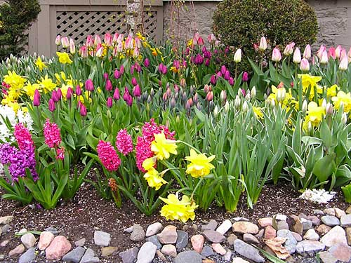 Plant spring bulbs now to bring early color, hope and joy to the garden. English photo.