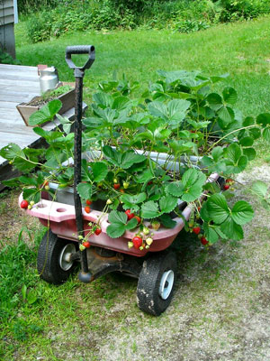Strawberries in wagon