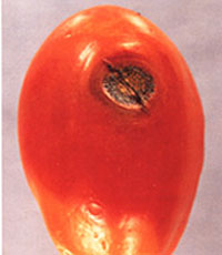 Anthracnose of tomato