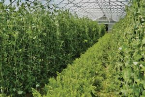 Peas and carrots in a Rimol greenhouse in late spring