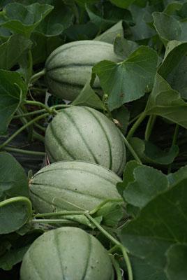 'Hannah's Choice' melons