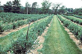 Highbush-blueberries-in-orchard