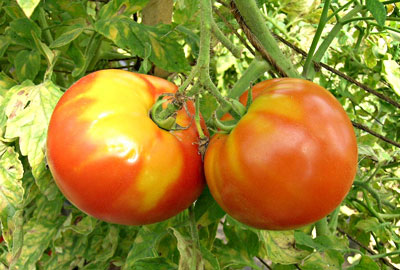 Yellow shoulder on tomatoes