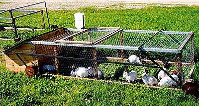 Rabbits on pasture