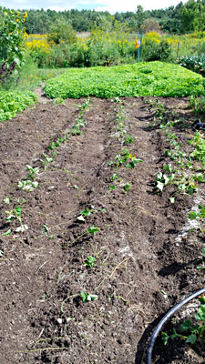 Strawberry runners transplanted in August