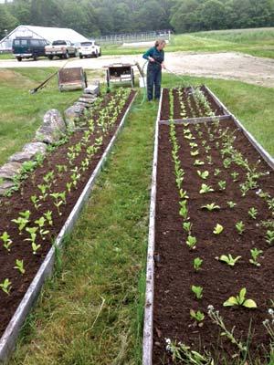 Seedlings planted in raised beds