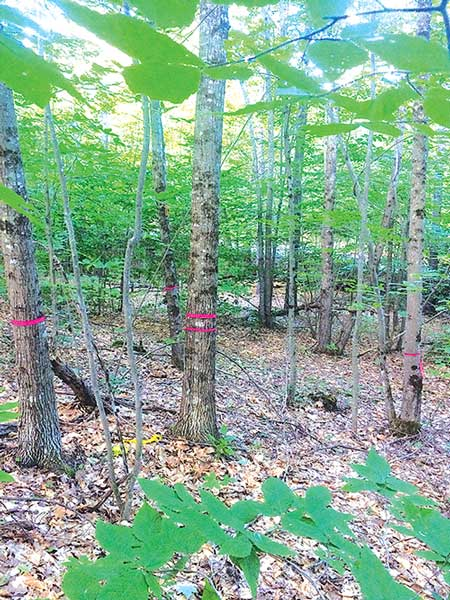A red oak crop tree with double flagging surrounded by competing red maple, oak lacking quality and a diseased beech (not pictured). Noah Gleason-Hart photo