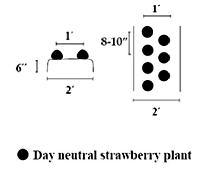 Strawberry spacing in a day neutral planting