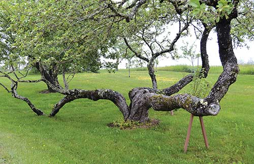 An old apple tree at the Wooden Boat School in Brooklin, Maine. English photo