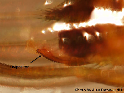Ovipositor of the Spotted Wing Drosophila