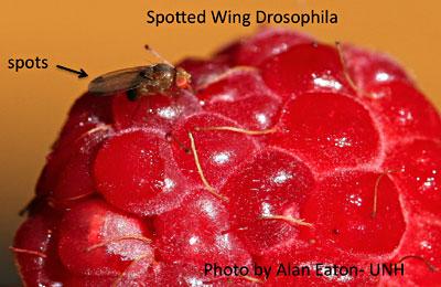 Spots on male Spotted Wing Drosophila