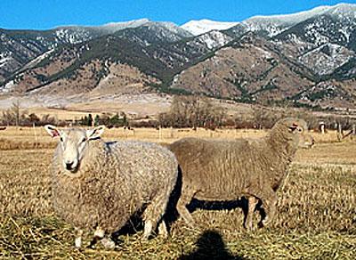 Protected sheep