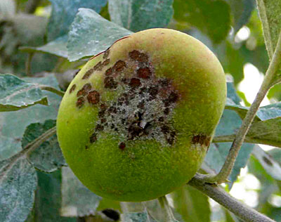Apple scab on fruit and leaves. Photos by C.J. Walke.
