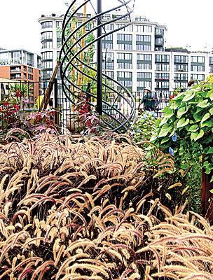 Fountain grass (Pennisetum alopecuroides)