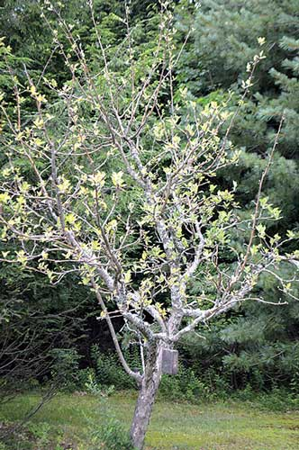 Apple tree showing showing signs of stress. Jean English photo