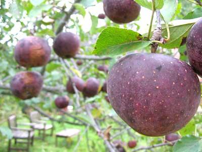 Black Oxford apples