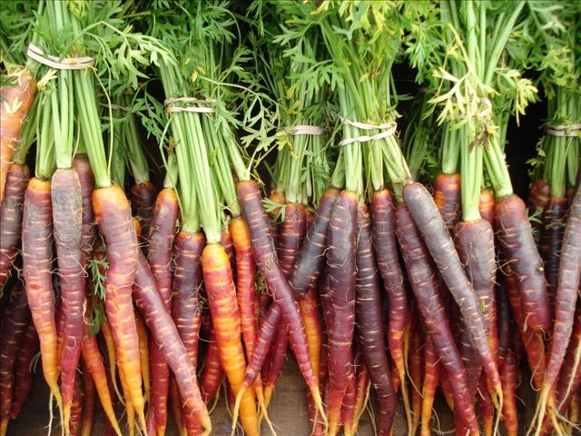 Colorful carrots grown in Maine
