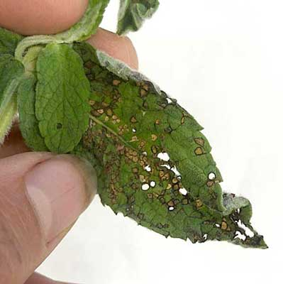 Probable four lined plant bug feeding damage on a mint. Photo Katheryn Langelier