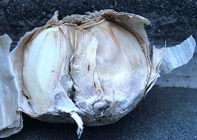 Fusarium rot on garlic