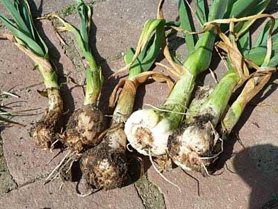 Garlic bloat nematode damage