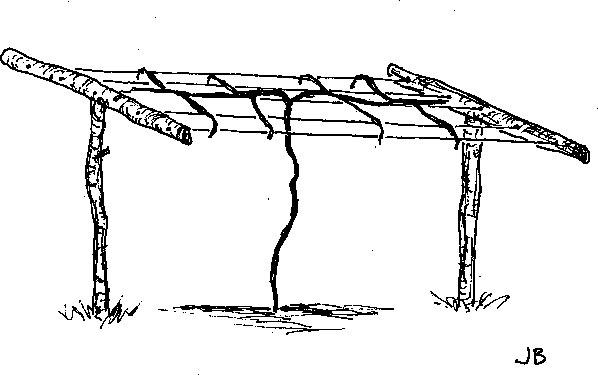 Kiwi trellis