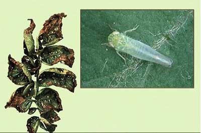 Potato leaf damaged by leafhoppers with inset photo of leafhopper