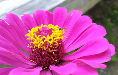 Beneficial syrphid fly on zinnia flower