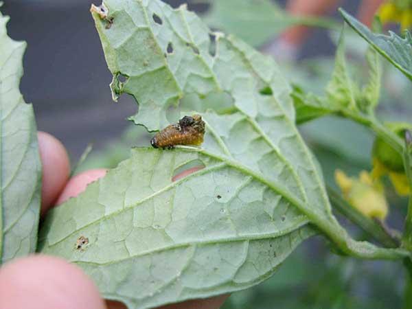 Three lined potato beetle larva
